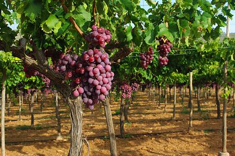 vino ecologico francisco gomez
